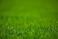 Grüner Rasen gemähtes Gras Stockfoto