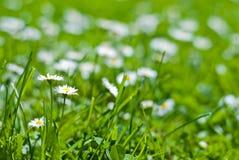 Grüner Rasen mit Blumen Lizenzfreies Stockbild