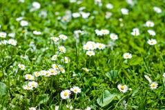 Grüner Rasen mit Blumen Lizenzfreies Stockfoto