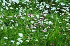 Grüner Rasen mit bunten Blumengänseblümchen Stockfotografie