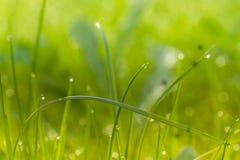 Grüner Rasen mit wenigen Strohen und Morgen befeuchten Stockfoto