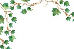 Grüner Rebstock kletterndes des Blattefeus, hängende Niederlassung von eingemachter Efeu Innenhouseplant lokalisiert auf weißem H stock abbildung