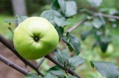 Grüner reifer Apfel auf einem Baum draußen Lizenzfreie Stockbilder
