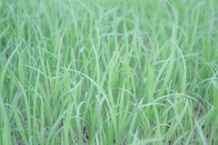Grüner Reis Lizenzfreie Stockbilder