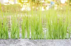 Grüner Reis Stockfoto