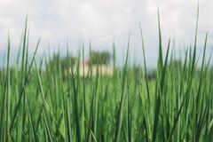 Grüner Reis Lizenzfreies Stockbild