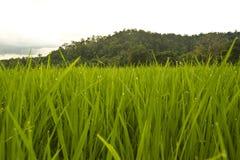 Grüner Reis Stockbild