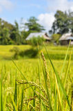 Grüner Reis Stockfotografie