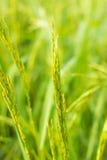 Grüner Reis Stockfotos