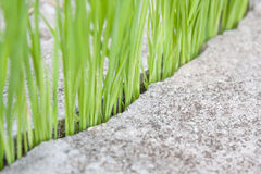 Grüner Reis Lizenzfreie Stockfotos