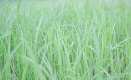 Grüner Reis Lizenzfreie Stockfotografie