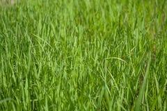 Grüner Reis Lizenzfreies Stockfoto