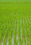 Grüner Reis, Anlage lizenzfreie stockfotos
