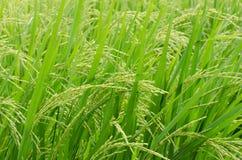 Grüner Reis auf dem Reisgebiet lizenzfreie stockfotos