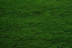 Grüner Reis auf den Reisgebieten Onkels lizenzfreie stockbilder