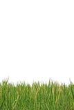 Grüner Reis auf weißem Hintergrund Lizenzfreies Stockfoto