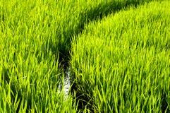 Grüner Reis des Feldes Stockfotos