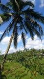 Grüner Reis fängt Bali auf Stockbild