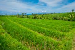 Grüner Reis-Feld-Abschluss oben Reis im Wasser auf Reisterrassen, Ubud, Bali, Indonesien Stockfotografie
