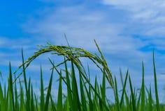 Grüner Reis mit dem blauen Himmel Stockfotografie