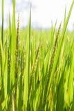 Grüner Reis Morgen Lizenzfreie Stockbilder