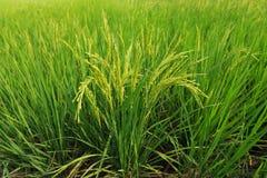 Grüner Reis Thailand Stockfoto