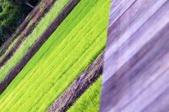 Grüner Reis in Thailand Stockfoto