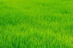 Grüner Reisbauernhof Lizenzfreies Stockbild