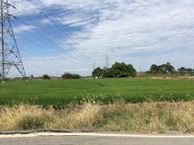 Grüner Reisbaum im Land Stockfoto