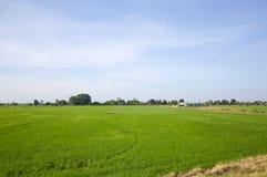 Grüner Reisbaum im Land Lizenzfreies Stockbild