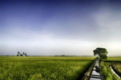 Grüner Reisfeldhintergrund mit einzelnem Baum in der Mitte Stockfotos