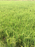 Grüner Reissprössling Lizenzfreie Stockfotos
