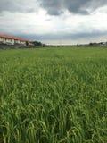 Grüner Reissprössling bereit Stockbild