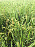 Grüner Reissprössling bereit Stockbilder