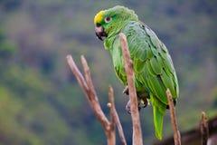 Grüner Rica-Papagei weit Lizenzfreie Stockbilder