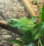 Grüner riesiger Baumfrosch, der auf einer Niederlassung sitzt stockfotos