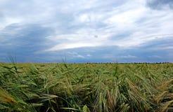 Grüner Roggen und drastischer Himmel. Stockfotos