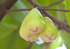 Grüner rosafarbener Apfel auf Baum Stockfotos