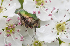 Grüner rosafarbener Käfer, Cetonia aurata stockfotografie