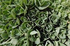 Grüner Rosehintergrund stockfoto