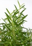 Grüner Rosmarin auf einem weißen Hintergrund Der Geruch von frischen Rosmarinzweigen verbessert menschliches Gedächtnis stockfotografie