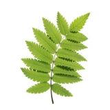 Grüner Rowan Leaf Vector Lizenzfreie Stockfotos