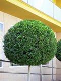 Grüner runder Baum Stockfotografie