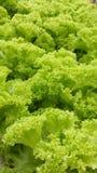 Grüner Salat Stockfoto