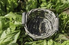 Grüner Salat des leeren Korbes des Details Stockfotografie