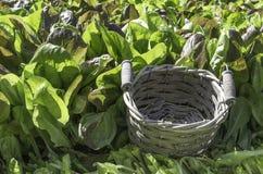 Grüner Salat und leerer Korb Stockfotos