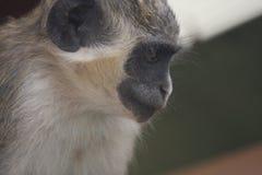 Grüner Samt Affe, der seinen folgenden Wäschereiangriff erwägt Stockbild