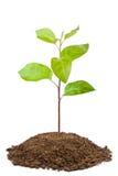 Grüner Schössling des Apfelbaums Lizenzfreie Stockfotos