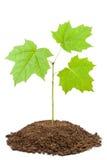 Grüner Schössling des jungen Ahornholzes lizenzfreies stockfoto