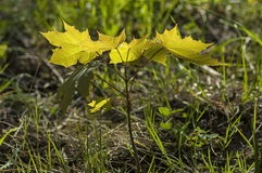 Grüner Schössling des jungen Ahorns oder des Acer-pseudoplatanus in der Lichtung Stockbilder